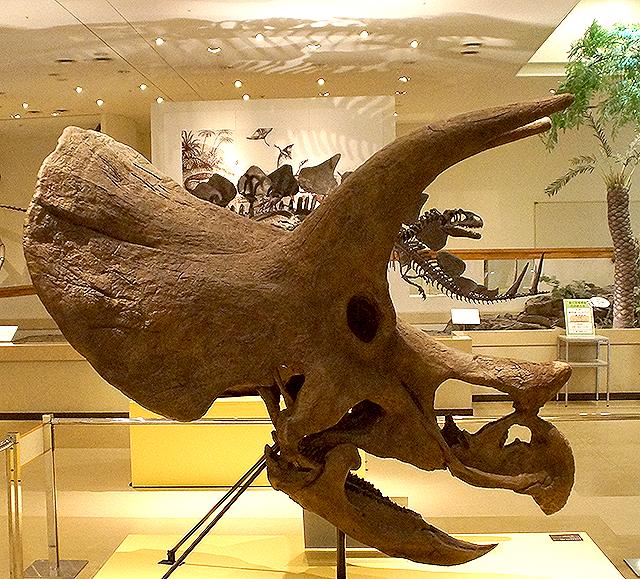 ehimekahaku_triceratops_head.jpg