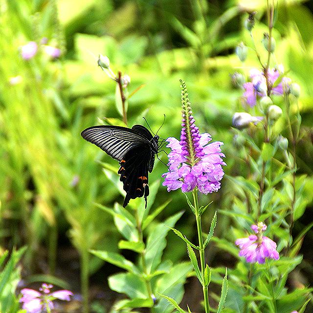 fujitakyohei_butterfly2.jpg