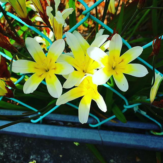 iyo_flower03.jpg