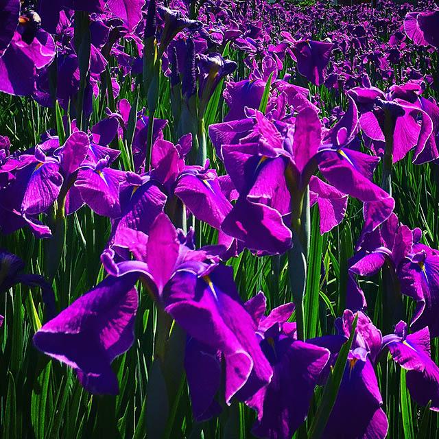 iyo_flower17.jpg