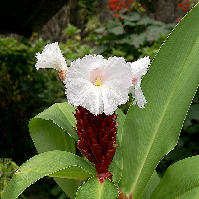 makinoplantpark_whiteflower2.jpg