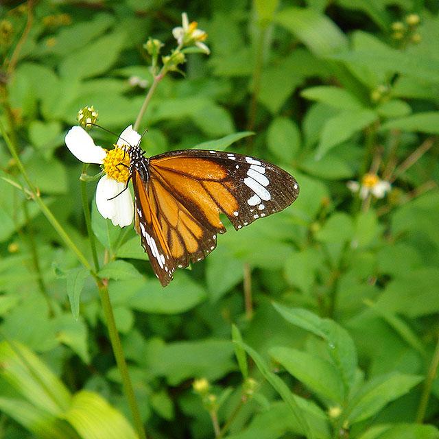 okinawa_butterfly2a.jpg