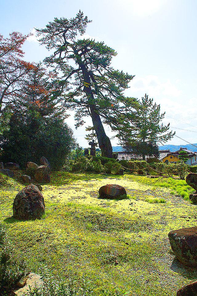 omuraji_kuromatsu1.jpg