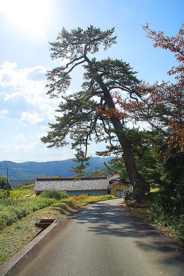 omuraji_kuromatsu2.jpg