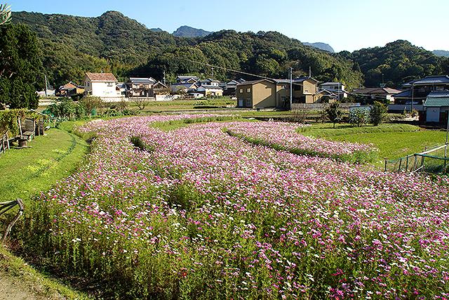 shodoshima_cosmos1.jpg