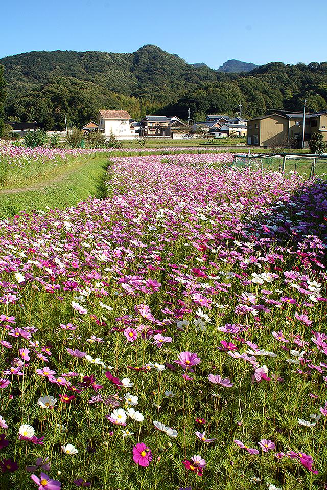 shodoshima_cosmos2.jpg