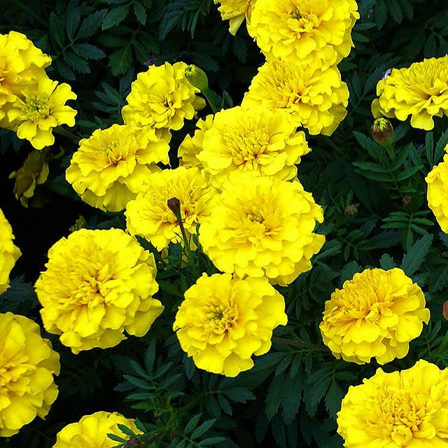 tch_flower1.jpg