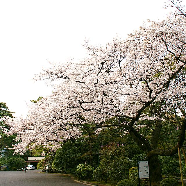 teien_bijustukan_sakura4a.jpg