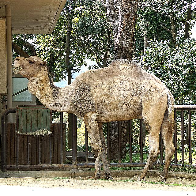 tobezoo_camel.jpg