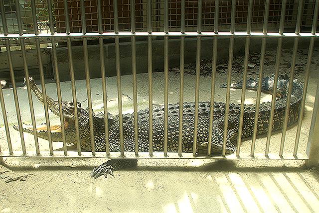 tobezoo_crocodile.jpg