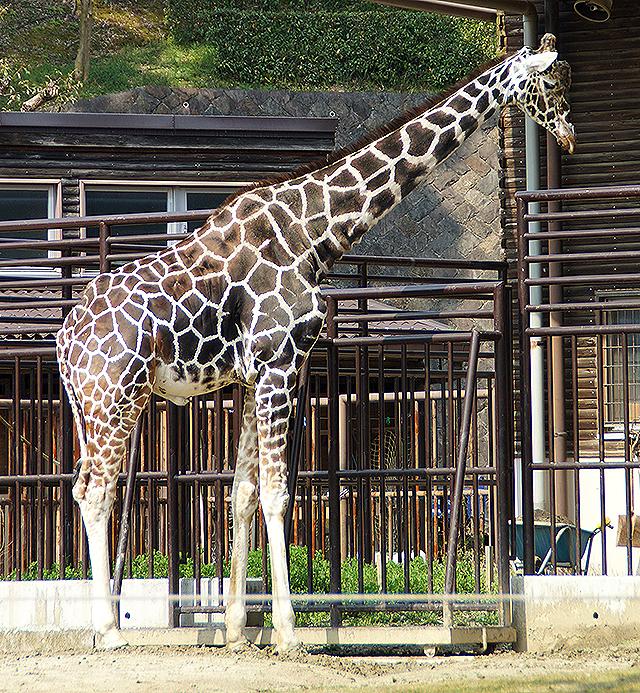 tobezoo_giraffe2.jpg