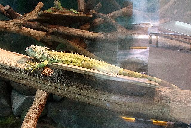tobezoo_iguana.jpg