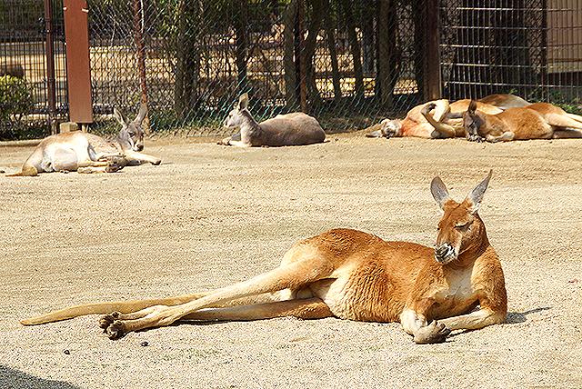 tobezoo_kangaroo.jpg