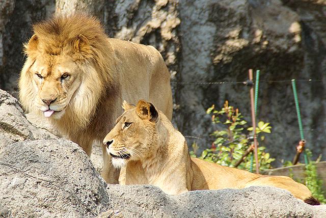 tobezoo_lion.jpg
