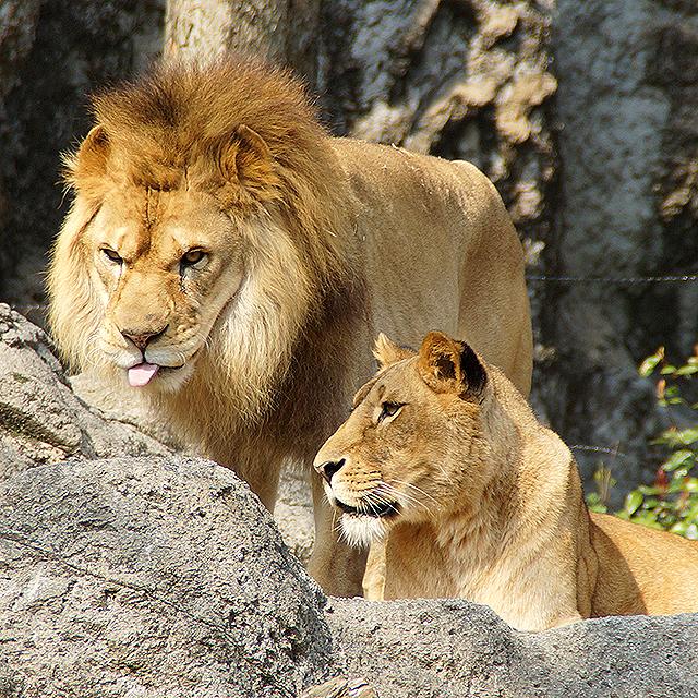tobezoo_lion2.jpg
