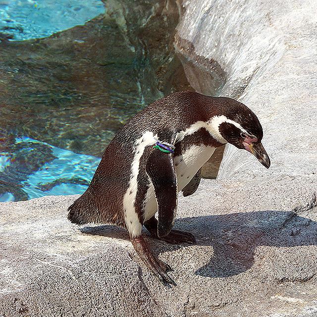 tobezoo_penguin3.jpg