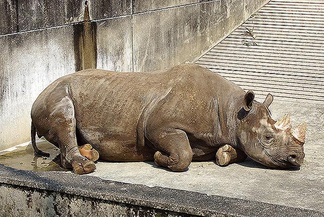 tobezoo_rhinoceros.jpg