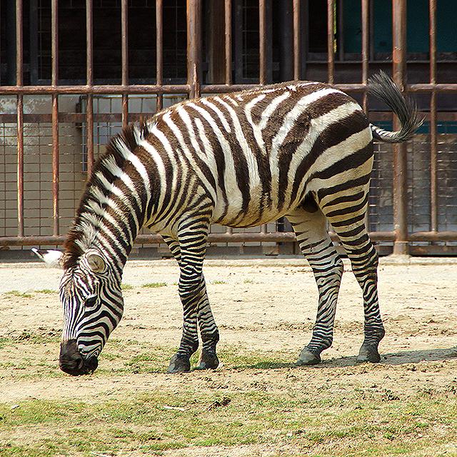 tobezoo_zebra.jpg