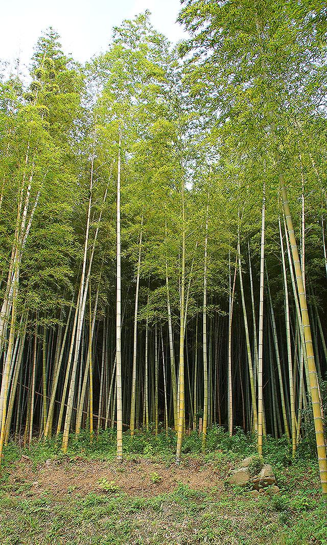 toyoshima_bamboo.jpg