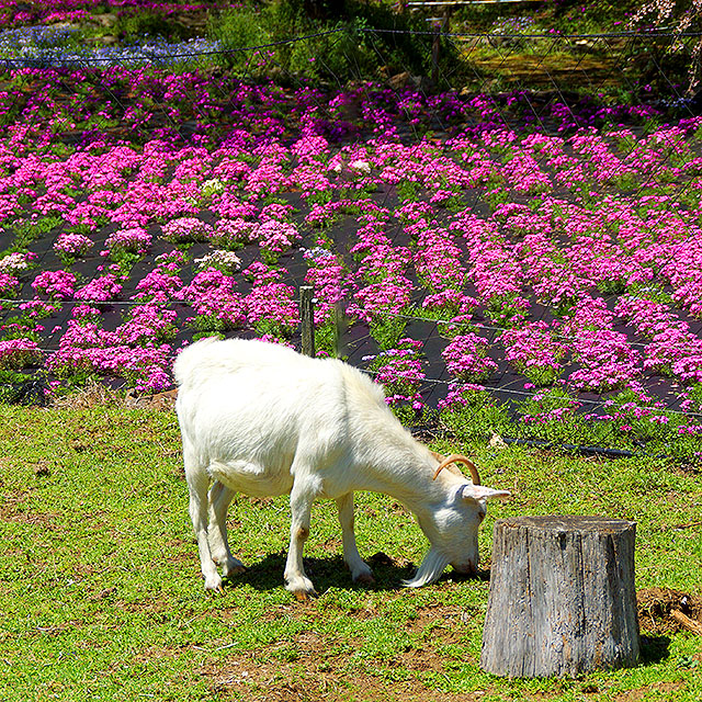 yamamotofarm_spring17b.jpg