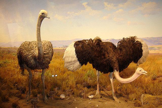 amnh_ostrich.jpg