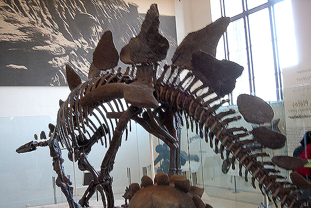 amnh_stegosaurus.jpg