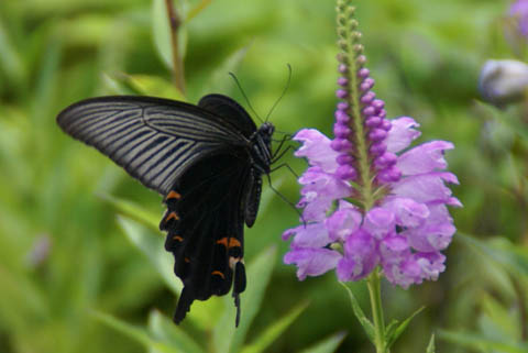 animal_butterfly_matsushima.jpg