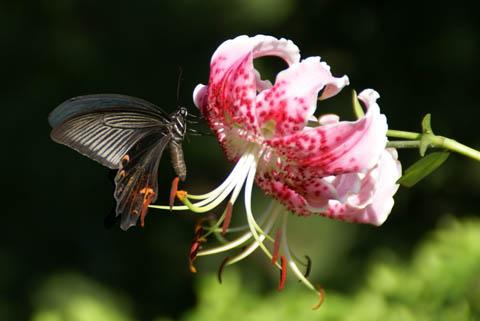 animal_butterfly_todoroki.jpg