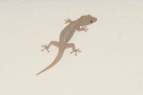 animal_lizard_maldive.jpg