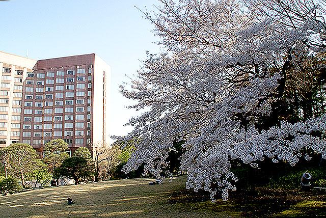 chinzanso_sakura.jpg