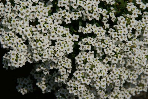 clematis_flower.jpg