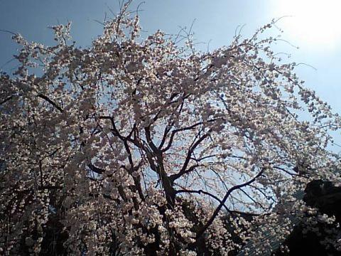 gm_ikegami_sakura.jpg