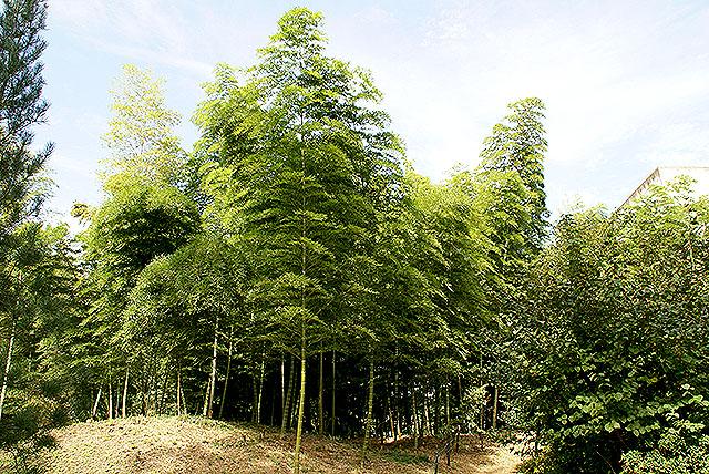 gunmaforest_bamboo.jpg