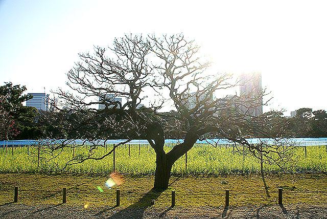 hamarikyu_tree2.jpg