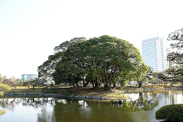 hamarikyu_tree3.jpg