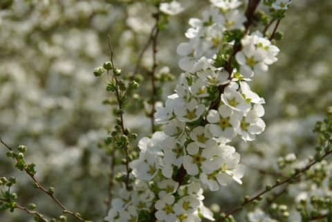 higan_tamagawa_flower_white2.jpg