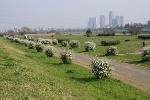 higan_tamagawa_flower_white3.jpg