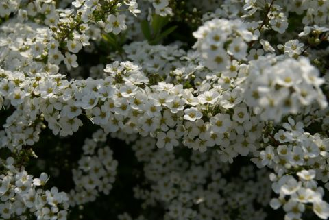 higan_tamagawa_flower_white_up.jpg