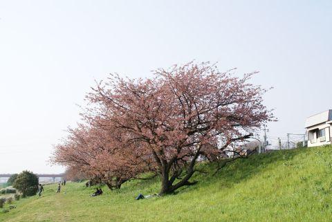 higan_tamagawa_sakura.jpg