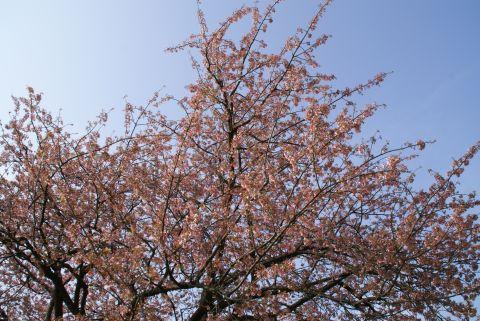 higan_tamagawa_sakura2.jpg