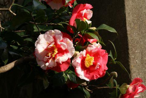 higan_todoroki_flower_whitepink.jpg