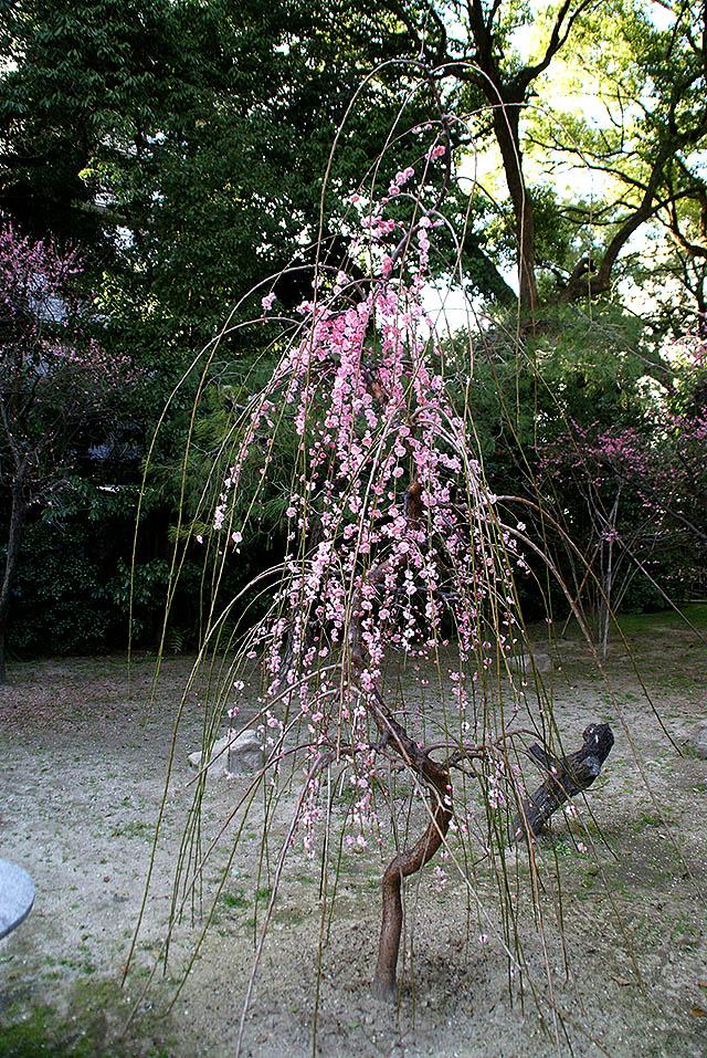 hiroshima_shukkeien_ume2.jpg
