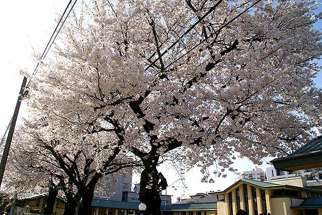 jiyugakuen_cherryblossomroom.jpg