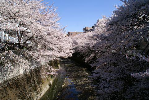 kandagawa_sakura.jpg
