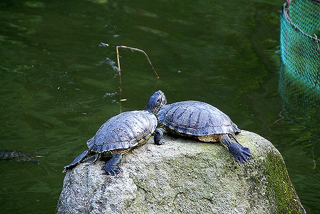 kawasakidaishi_turtles.jpg