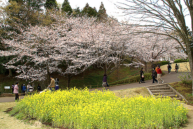 kmam_cherry_rape_blossom.jpg