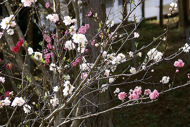kmam_cherryblossom_pink_white.jpg