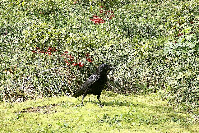 kmam_crow.jpg