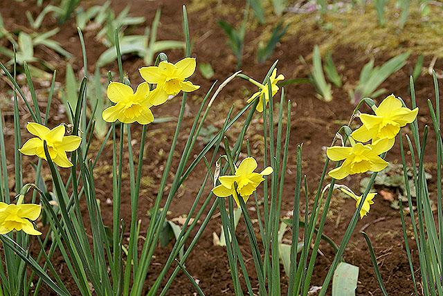 kmam_narcissus_yellow.jpg