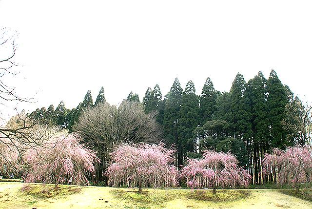kmam_shidarezakura2.jpg